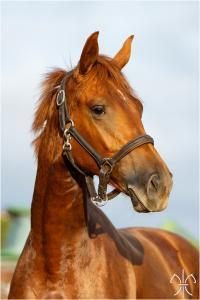Photo cheval a vendre FREE JAZZ DE LA GESSE